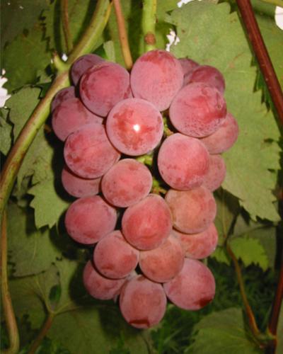 红富士葡萄